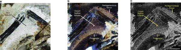 Propatagium superficial de Anchiornis STM-0-127 a 95 ° de la extensión del codo vista con (A) luz blanca, (b) láser LSF y (c) láser LSF con un filtro de rango aplicado.