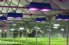 LED_Lights_in_Basil_Greenhouse