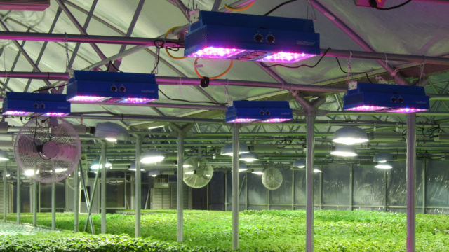LED_Lights_in_Basil_Greenhouse
