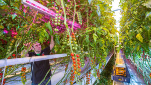 Horticultura, Led Horticulture, Rusian, Philips Lighting